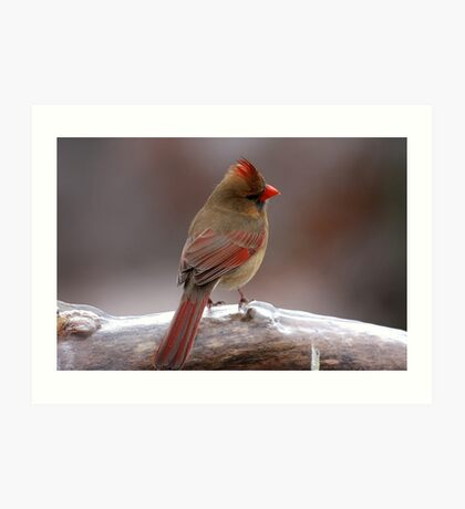 Cardinal in the cold Art Print