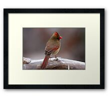 Cardinal in the cold Framed Print