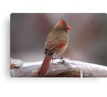 Cardinal in the cold Metal Print