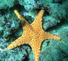 Starfish by MuscularTeeth