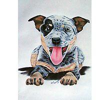 Heeler Pup Photographic Print