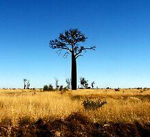 'Baobab Tree' by Jayne Healy