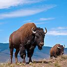 July Bison by Bryan D. Spellman