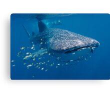 Whale Shark, Ningaloo Reef, Western Australia Canvas Print