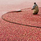 Cranberry Harvest by Alyeska
