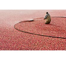 Cranberry Harvest Photographic Print