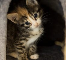Tabatha the curious kitten by lilkimmi27