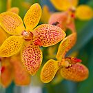 Orchids by Cvail73