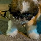 Mini baby dog - extra cute puppy by Cvail73