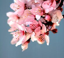Plum Blossoms by Rachel Valley