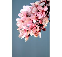 Plum Blossoms Photographic Print