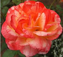 Two toned Rose by hanne