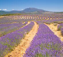 Bridstowe Lavender Farm by Neil