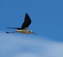 A Black-Winged Stilt  on the Murray River by Michael Humphrys