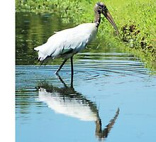 Wood Stork in Pond by Cynthia Pulsifer Photography