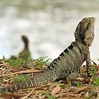 Australian Water Dragon.  Mt Coot-tha Botanic Gardens, Brisbane, QLD by Mandy Gwan