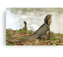 Australian Water Dragon.  Mt Coot-tha Botanic Gardens, Brisbane, QLD Canvas Print