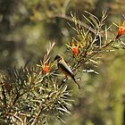 Eastern Spinebill. Leura, Blue Mountains, NSW by Mandy Gwan