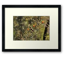 Eastern Spinebill. Leura, Blue Mountains, NSW Framed Print