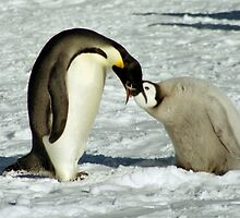 Emperor Penguin Feeding Chick, Antarctica  by Carole-Anne