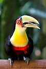 Red Breasted Toucan at Iguassu, Brazil  by Carole-Anne