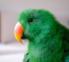 self portrait-exotic eclectus parrot by sunset