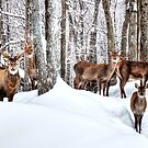 How many Red Deer in the Forest???  by Poete100
