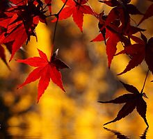 Autumnal red and yellow by DerekEntwistle