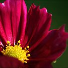 Cosmos at dusk... by MikeO