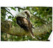 Preening Kookaburra II Poster
