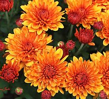 Fall Faces ~ Rust Color Button Mums by SummerJade