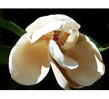 Another Magnolia Photographic Print