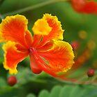Orange Flower by BengLim