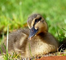 Pretty Please - Daffy Rescued Duckling - NZ by AndreaEL