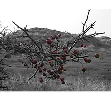 Berries at Sandscale Hawes Photographic Print