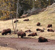 Resting bisons by zumi