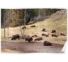 Resting bisons Poster