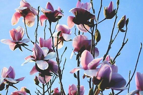 Magnolia Tree by Lisa Wilson