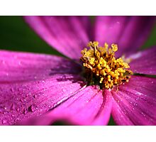 Cosmos.... Photographic Print