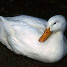 White Duck at rest by Roz McQuillan