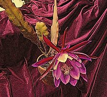 Velvetized Cactus Flower - Epiphyllum Midnight by Michael May
