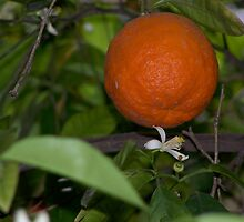 Orange tree.  by ccrcats