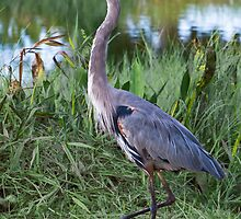 Great Blue Heron Out for a Stroll by Delores Knowles