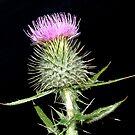 The Flower of Scotland by Steven McEwan