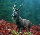 Lone Stag by Roddy Atkinson