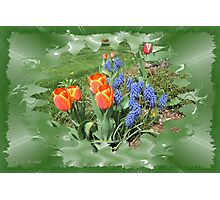 Tulips with Grape Hyacinth Photographic Print