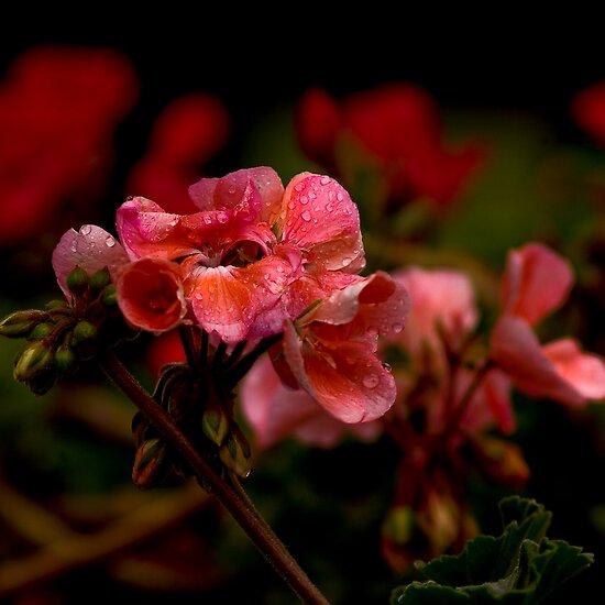 geranium after heavy rain by jlukyn