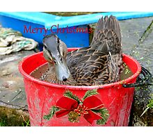 All I Want For Christmas - Rescued Duck - NZ Photographic Print