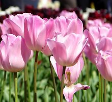 Pink Tulips by ~ Fir Mamat ~