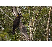 Yellow-tailed Black Cockatoo Photographic Print